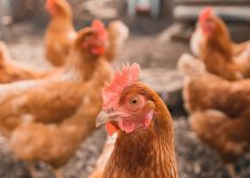 Council to discuss chickens
